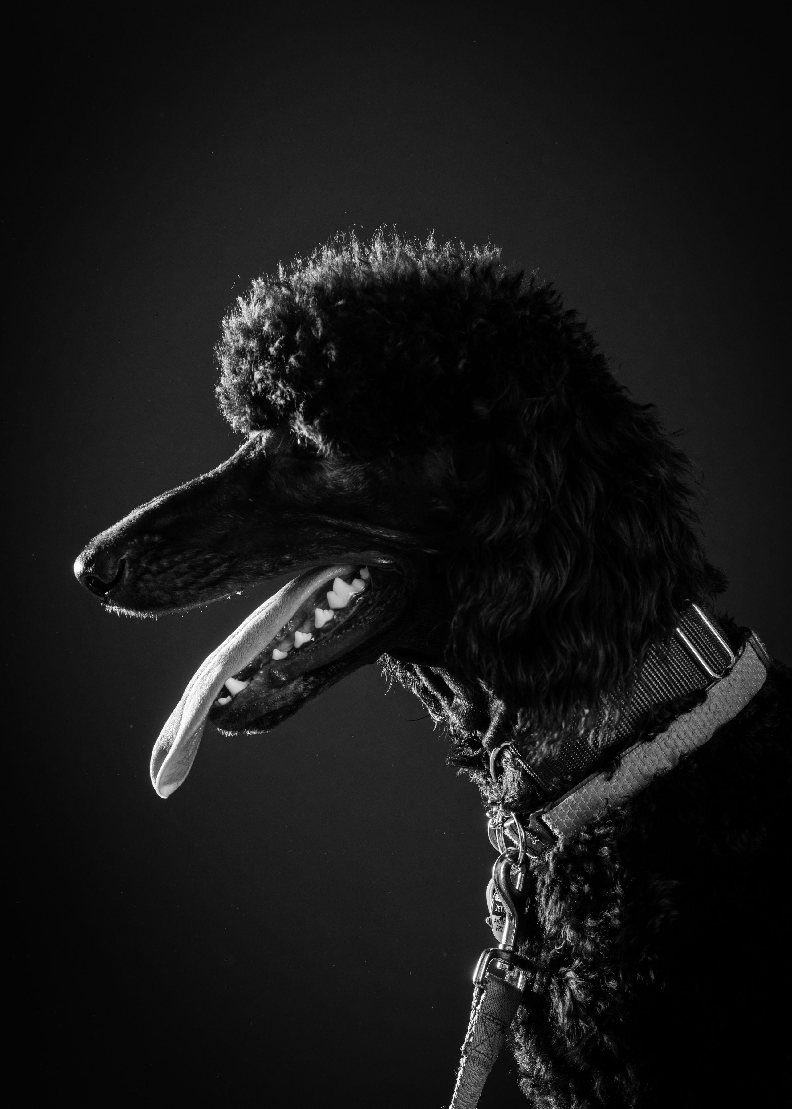 B&W Dog Portraits-whitneymclaren-3-3.jpg
