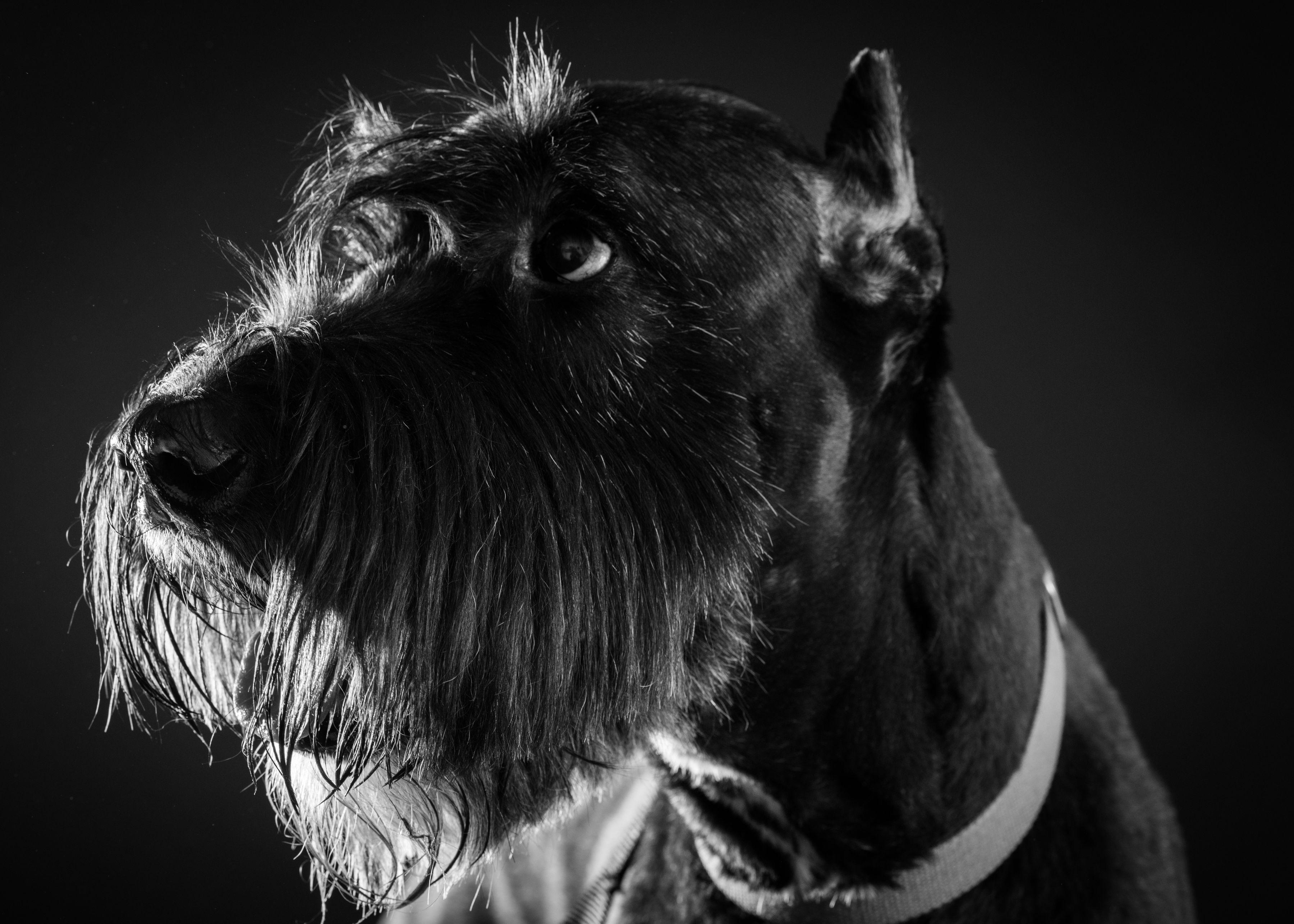 B&W Dog Portraits-whitneymclaren-3.jpg