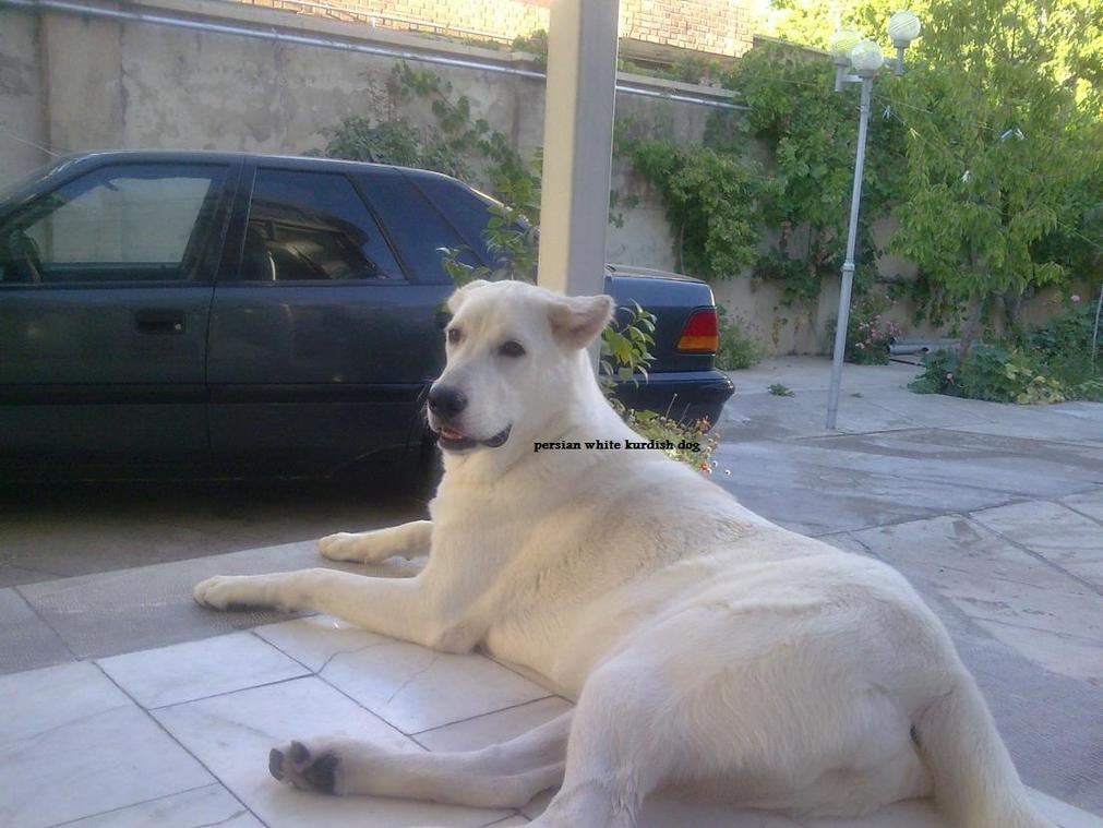 persian white kurdish dog-065.jpg