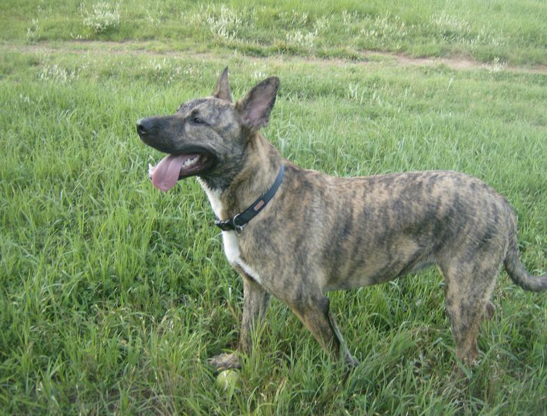 what is a dutch shepherd