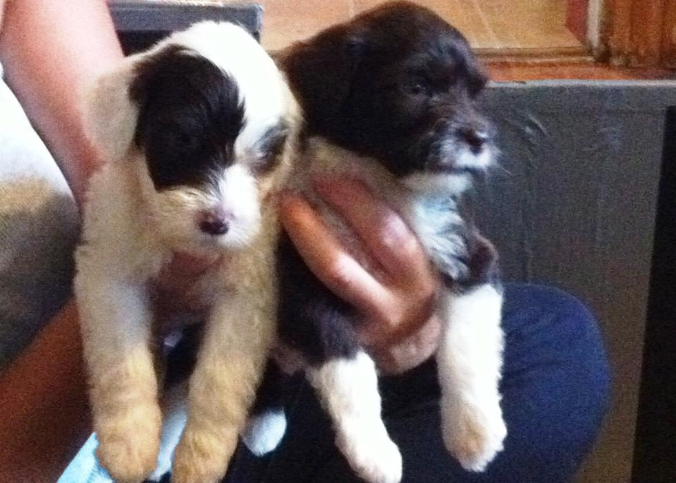 Portuguese Water Dog puppies-050.jpg