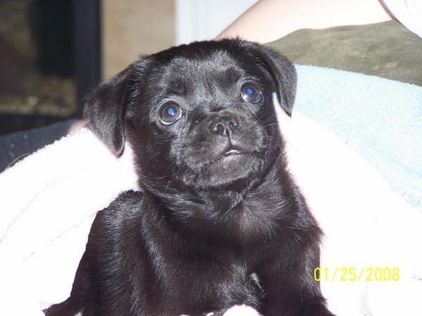 First time dog owner - Papillon-pug hybrid-1-27-08-beans