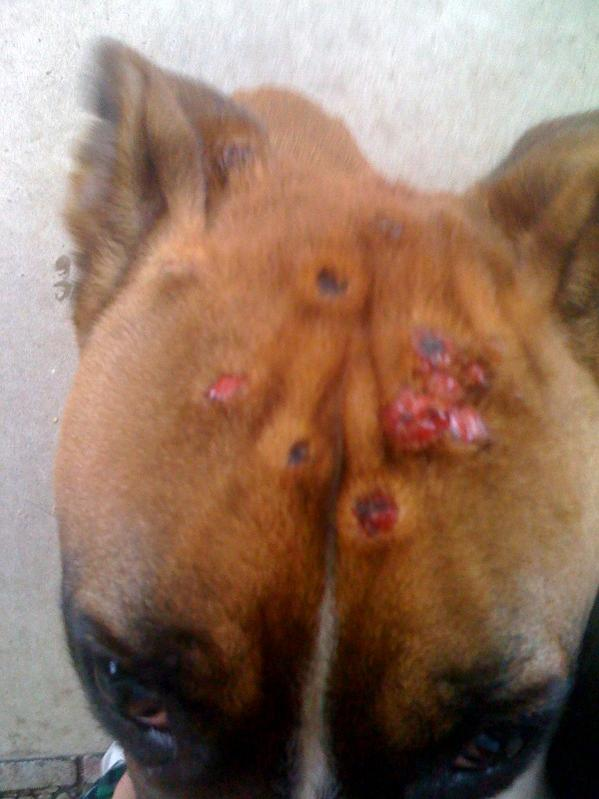 Skin Bumps On Dogs Head