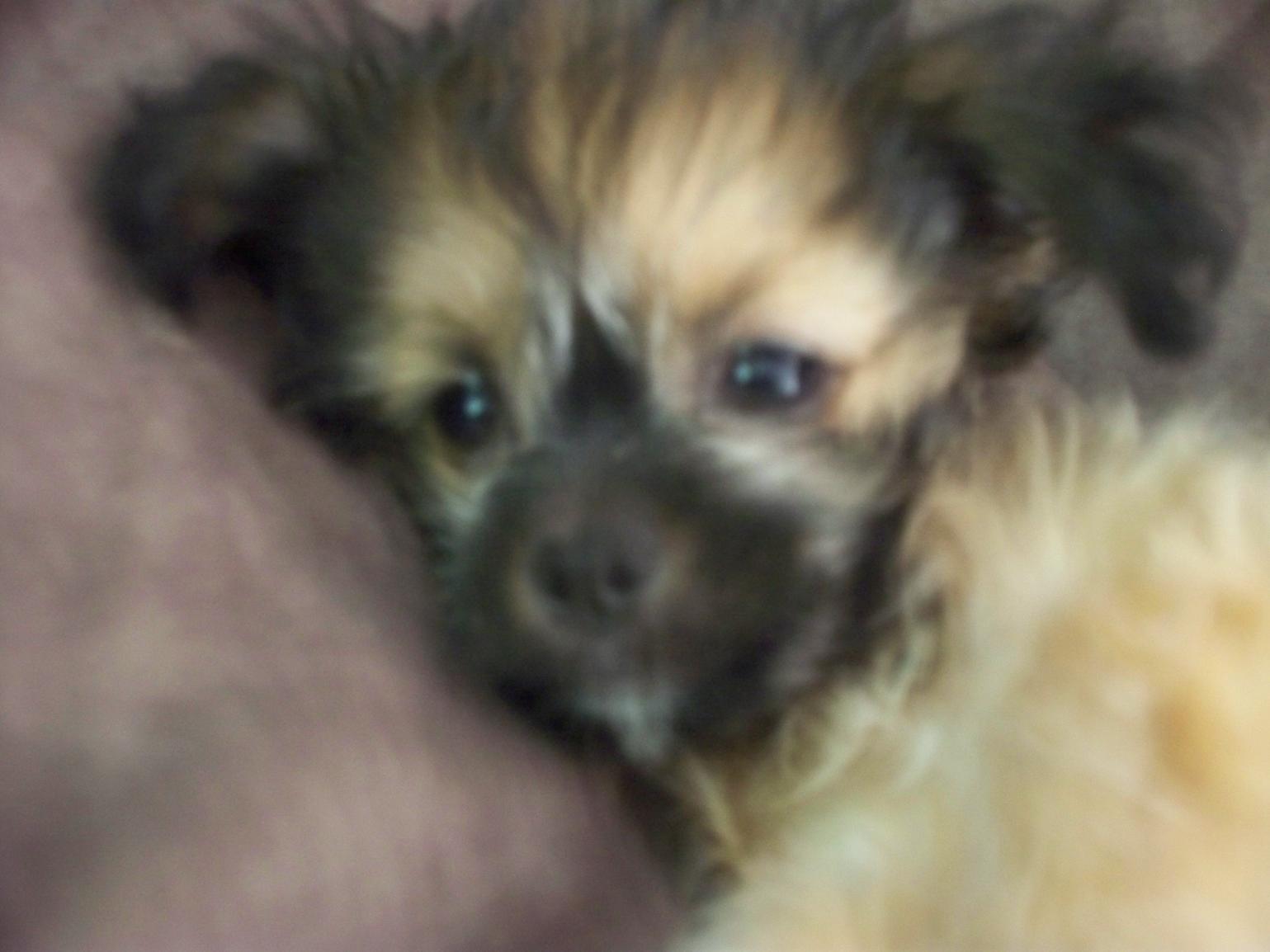 Chihuahua Shih Tzu Mix Puppy
