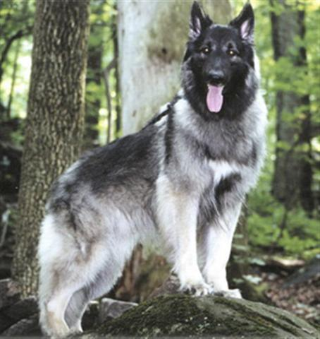 Shiloh Shepherds Are They Really Different To Gsd