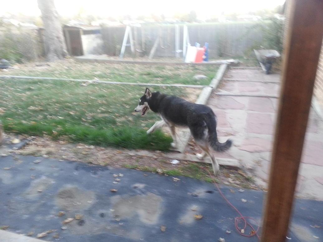 New Husky 9 Months Old-20121021_180434.jpg