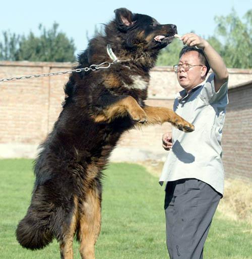 the real pure tibetan mastiff