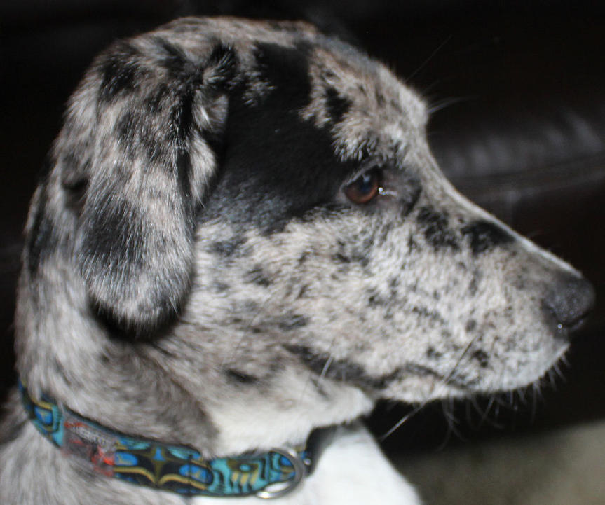 Catahoula? Updated pics - Breed guesses for my Pupper Boy ...