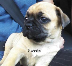 What kind of breed does my dog look like?-8_weeks.jpg