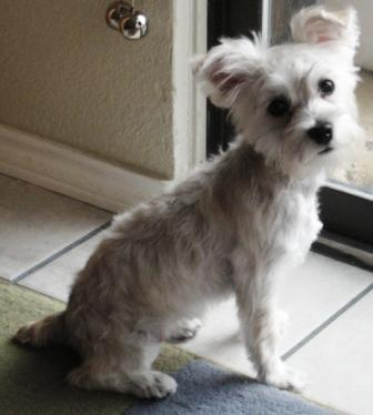 schnoodle haircuts 5 10 from 4 votes schnoodle haircuts 3 10 from 2 ...