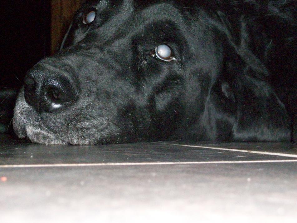 Labrador 5 tuổi bị bệnh Progressive Retinal Atrophy (PRA)