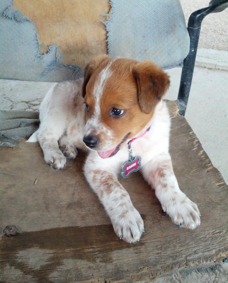 Red Heeler Dog Breed Info