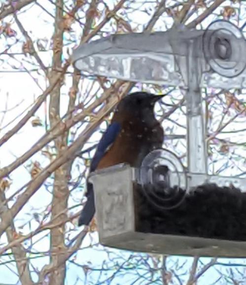 Backyard Wildlife-bluebird.jpg