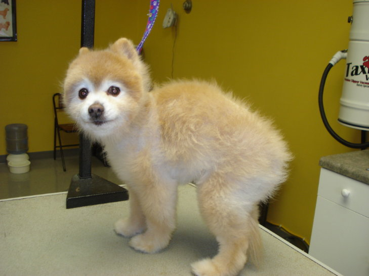 Grooming Requirements For A Pom