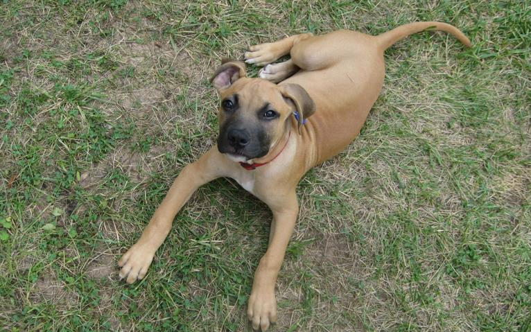Black Mouth Cur Mix