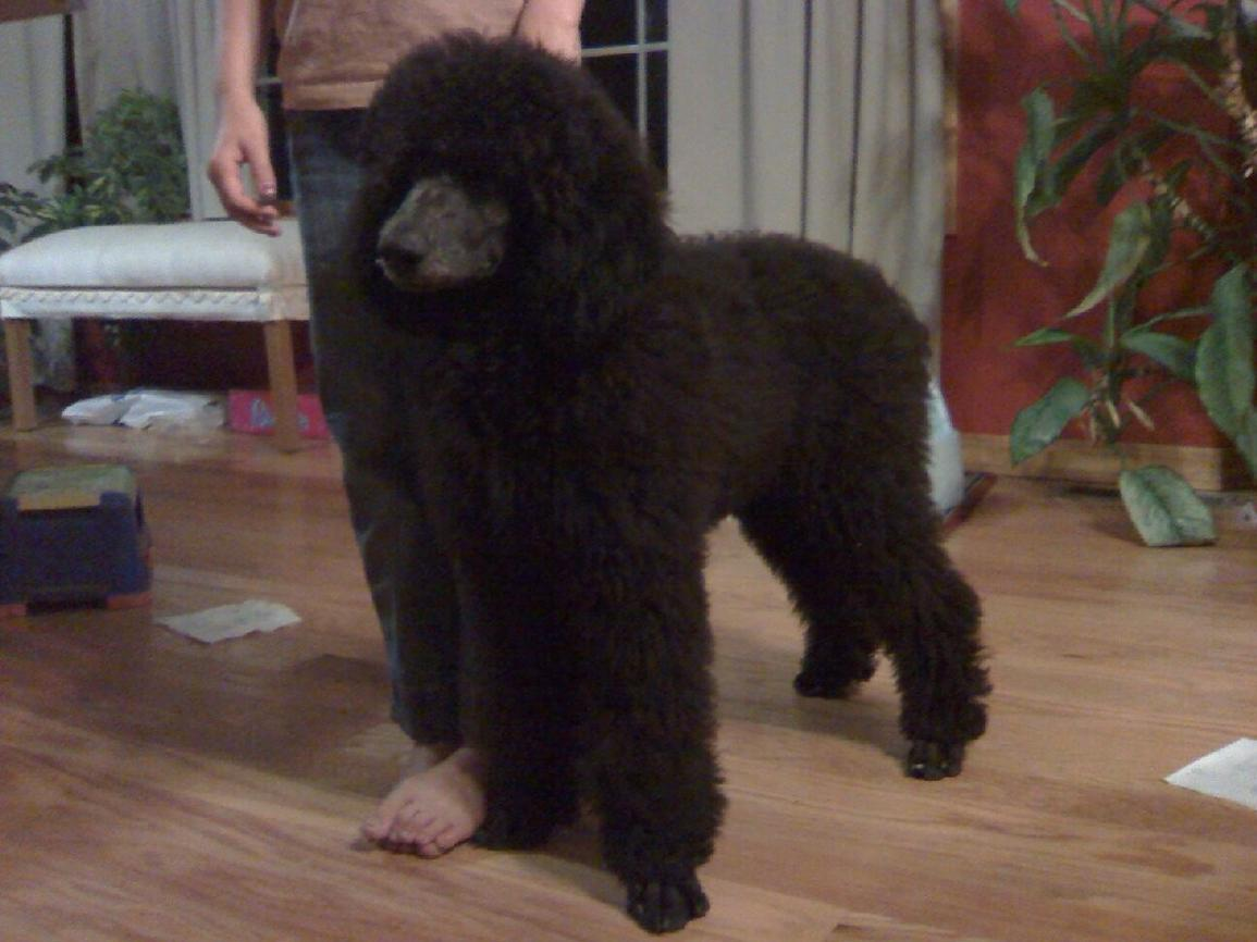 Grooming my Standard Poodle Puppy