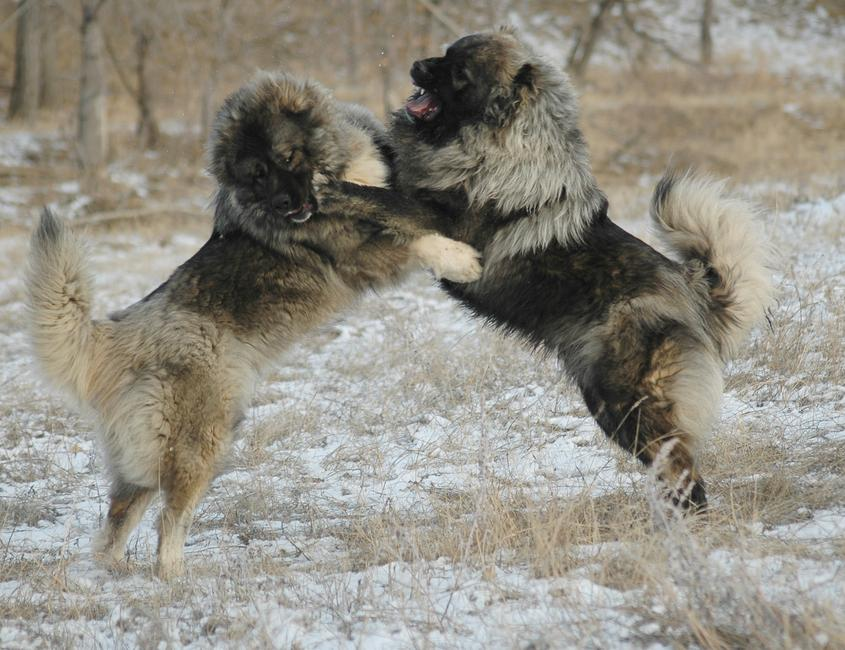 What is the most intimidating dog breed?-caucasian-ovcharka.jpg