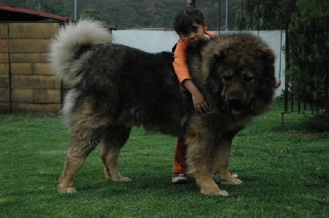 الكلب القوقازي قادر على صيد الدببة وقتل الذئاب 37157d1348346921-cau