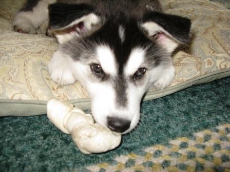 New Husky/Malamute mix pup...-chewin-02.jpg