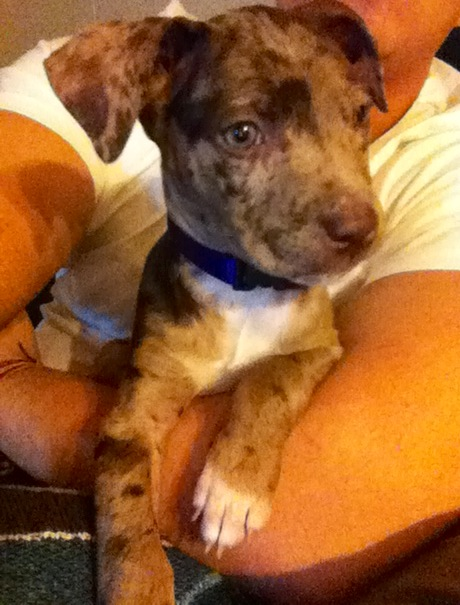 Go Back > Gallery For > Catahoula Pitbull Mix