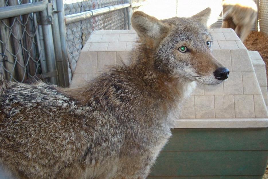 Coyote+German+Shepherd+Hybrid learn about the german shepherd pitbull ...