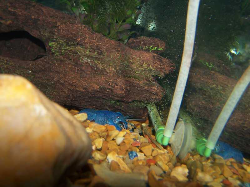 electric blue crayfish carrying eggs