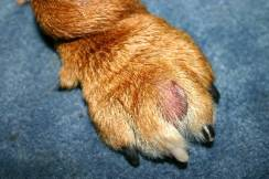 paw is red and swollen between toes-cyst1.jpg