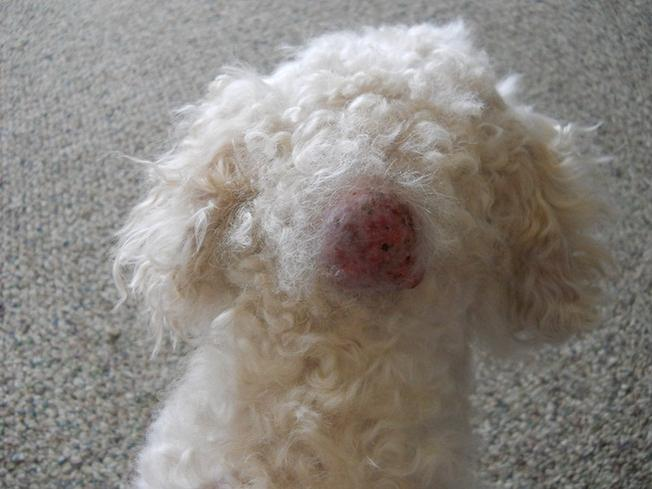 Cyst On My Dog - Photos Attached