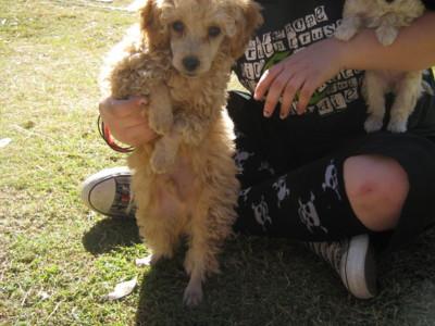 Poodle Cut-dogs-031.jpg