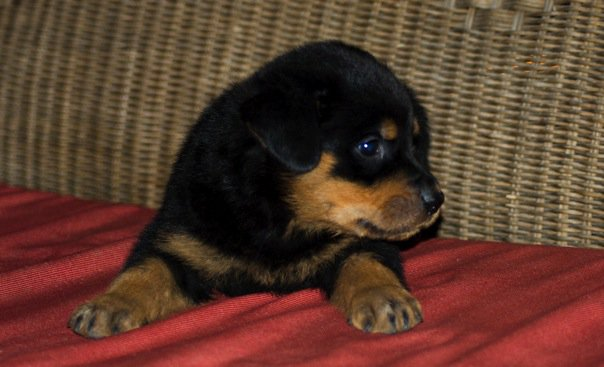 Just Bought A Rottweiler