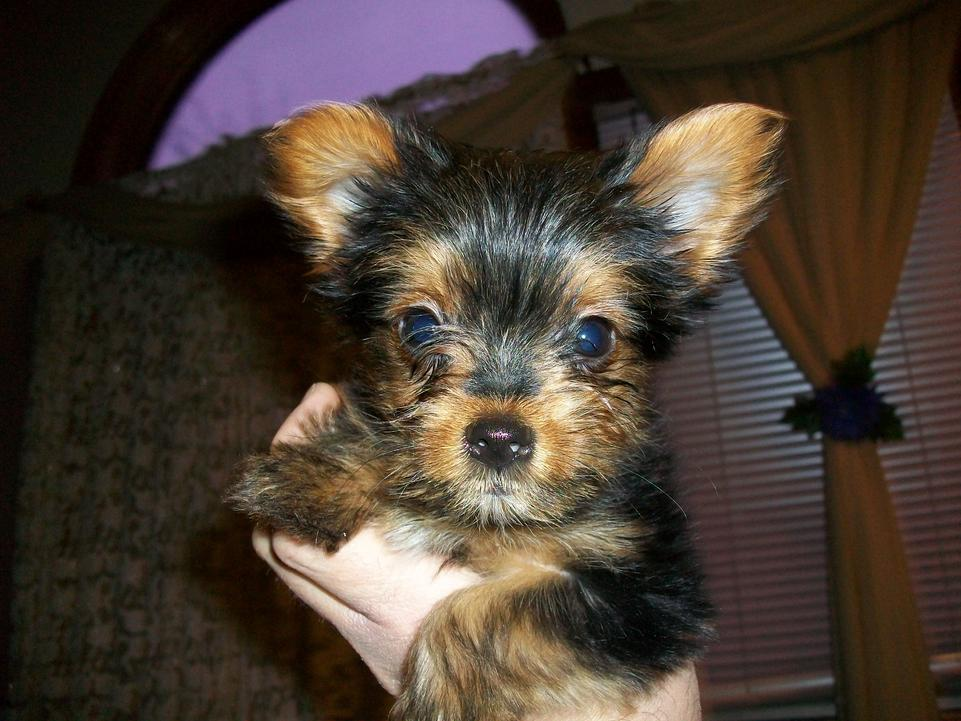 My Yorkie is throwing up all day ! Help-dorito-2.jpg