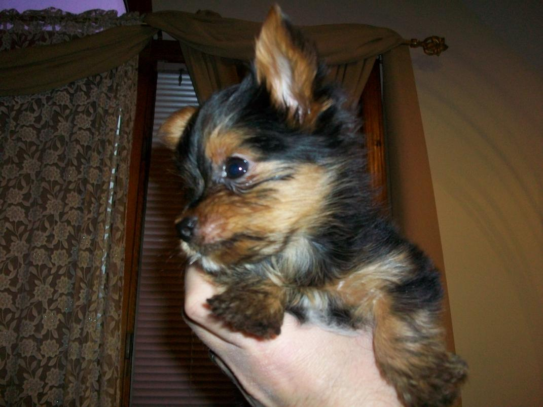 My Yorkie is throwing up all day ! Help-dorito-3.jpg