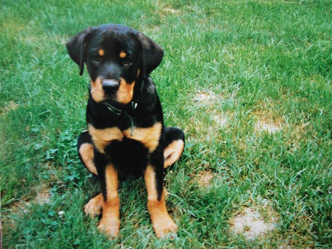 My Rottweiler American Bulldog St Bernard N English