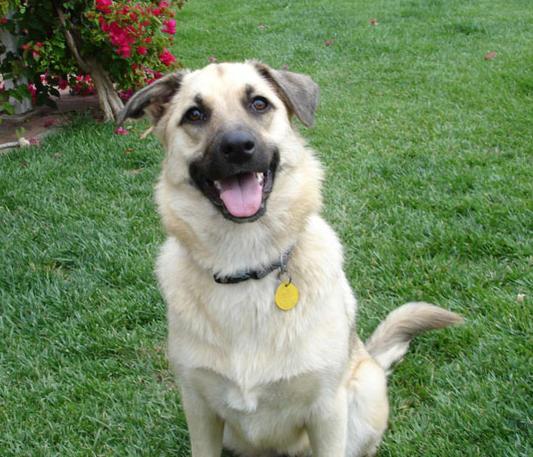 Help me identify my dog  (Belgian Malinois?  German Shepherd?)-dsc00469-sm.jpg