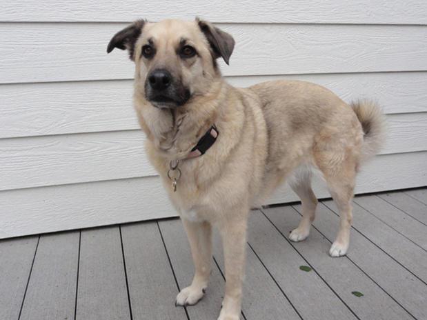Help me identify my dog  (Belgian Malinois?  German Shepherd?)-dsc01583-sm.jpg