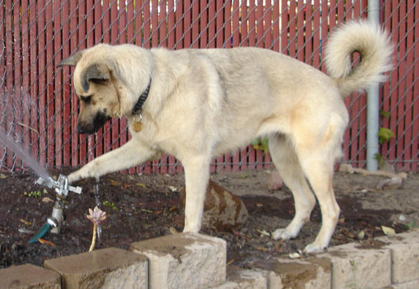 Help me identify my dog  (Belgian Malinois?  German Shepherd?)-dsc01823-sm.jpg