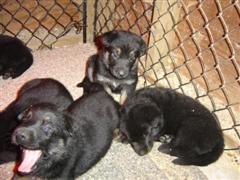 misquito's & 4week old GSD pups.-dsc03064-large-wince-.jpg