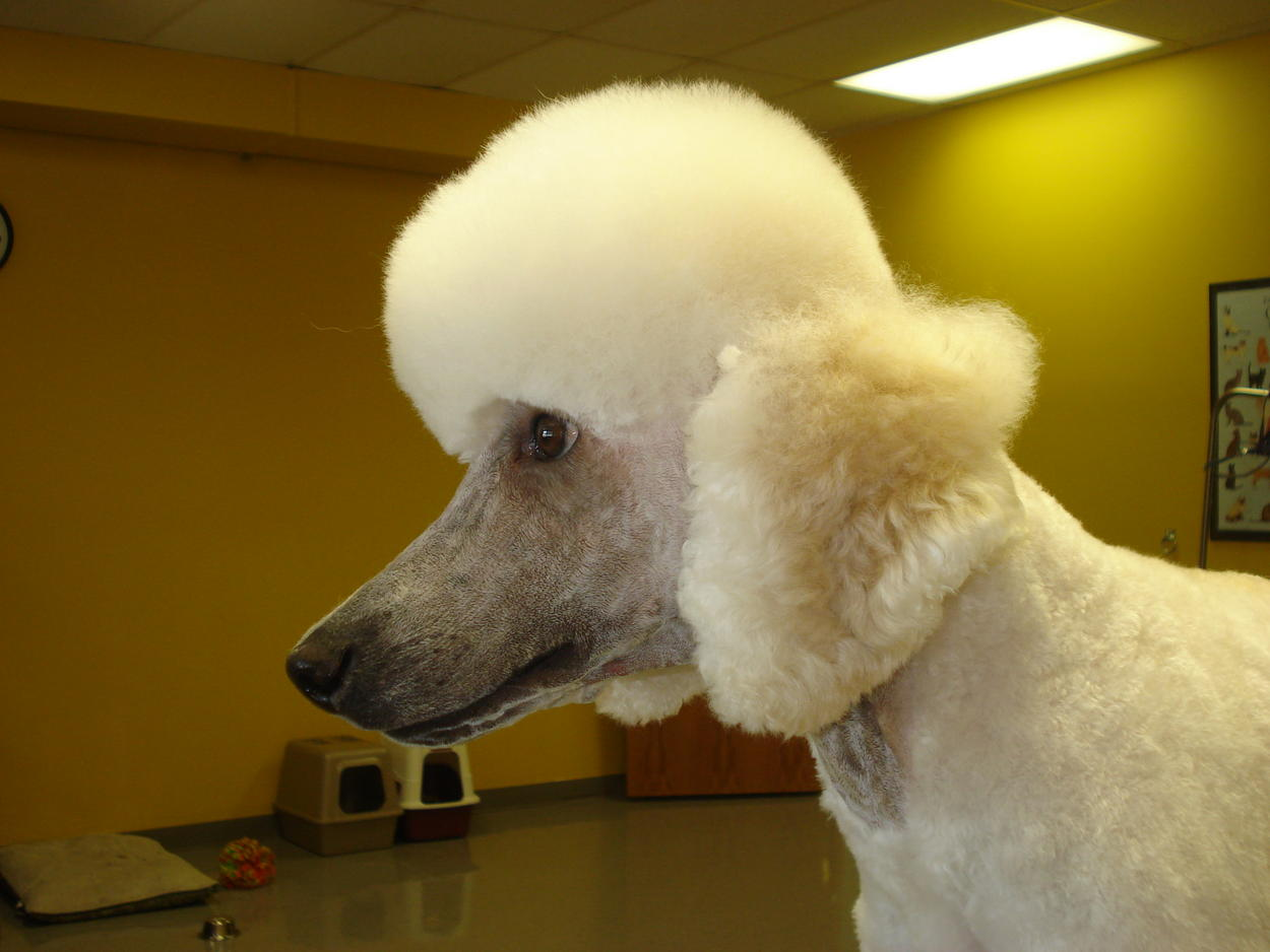 What About Shaving My Standard Poodles Ears