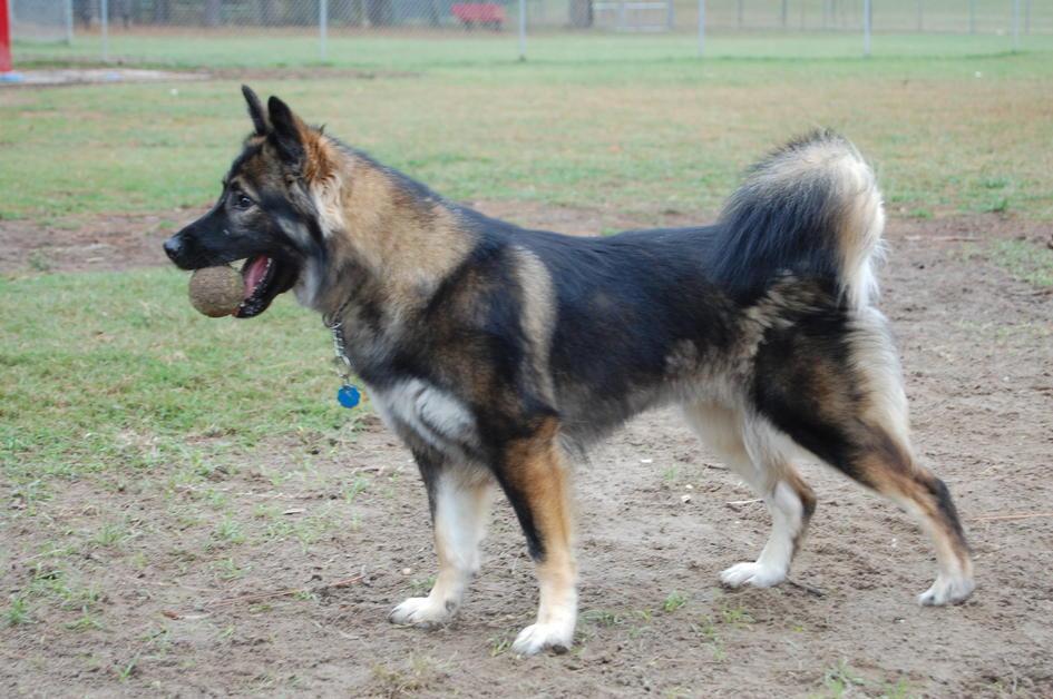 Husky and/or German Shepherd-dsc_3305.jpg