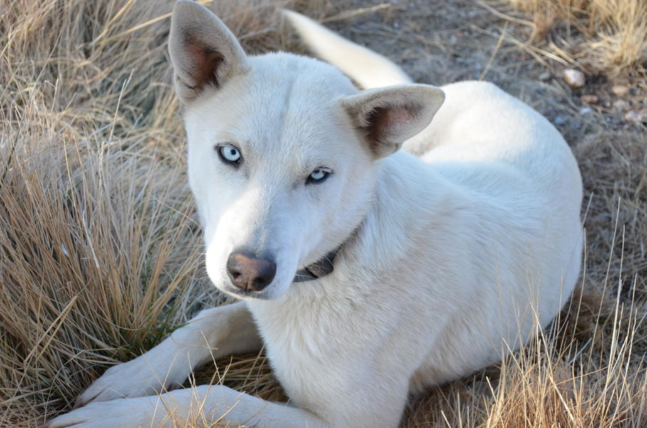 Husky Wolf Hybrid Or Husky Shepherd Mix
