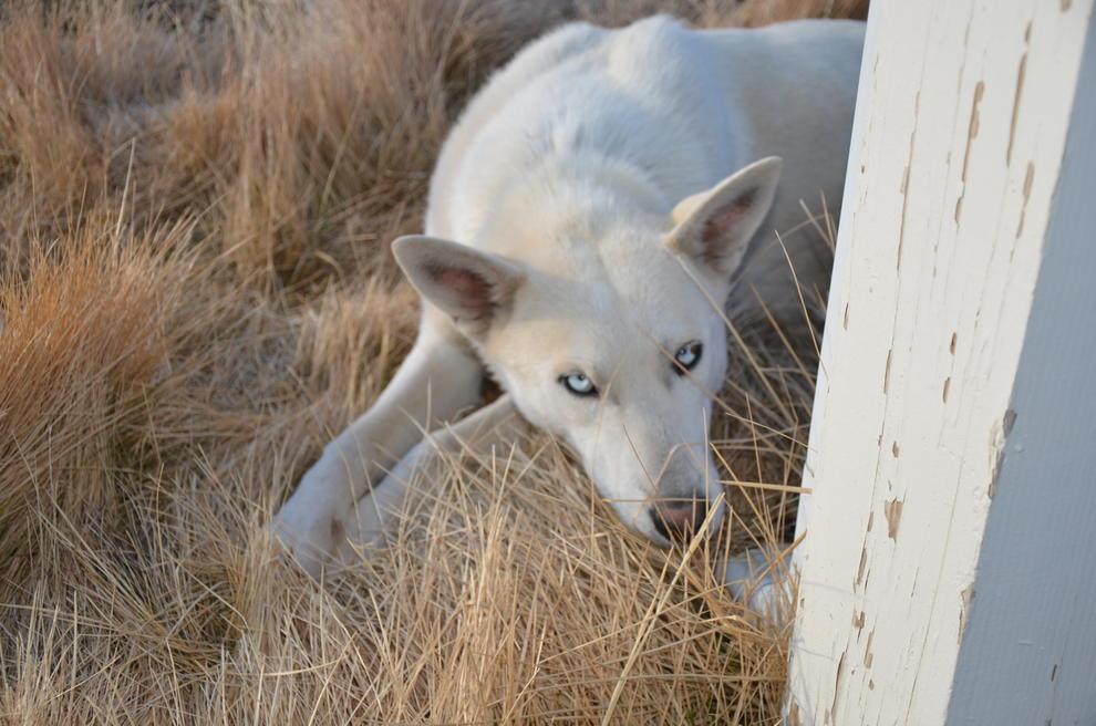 Husky/Wolf Hybrid or Husky/Shepherd mix???-dsc_8221.jpg