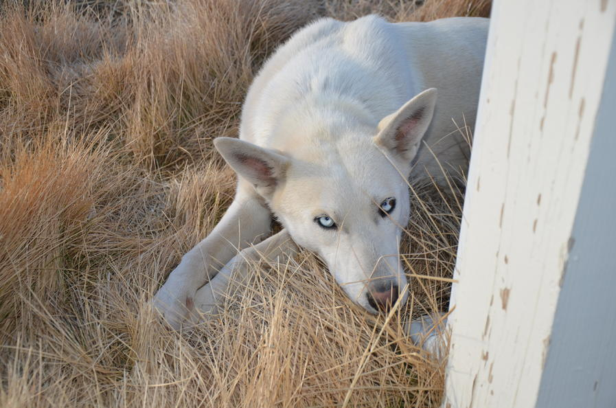 Husky/Wolf Hybrid or Husky/Shepherd mix???-dsc_8222.jpg