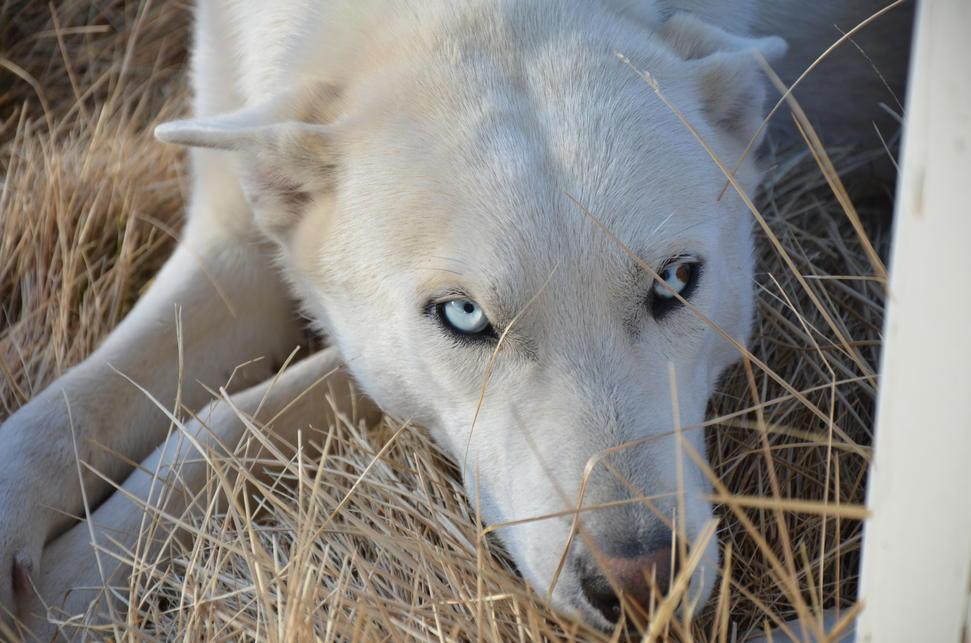 Gamemakertech Info Images Black Siberian Husky Wolf Mix