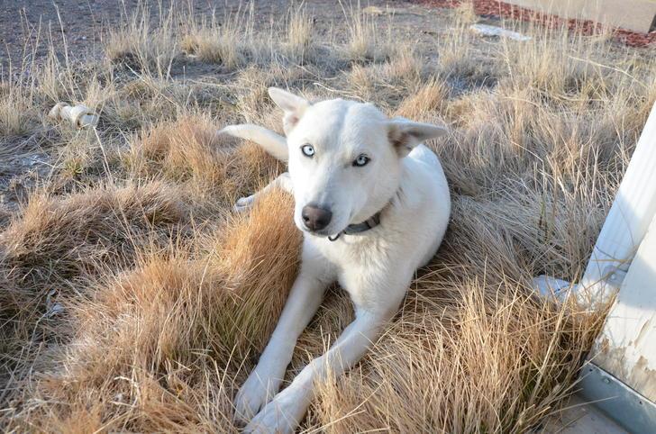 Husky/Wolf Hybrid or Husky/Shepherd mix???-dsc_8225.jpg