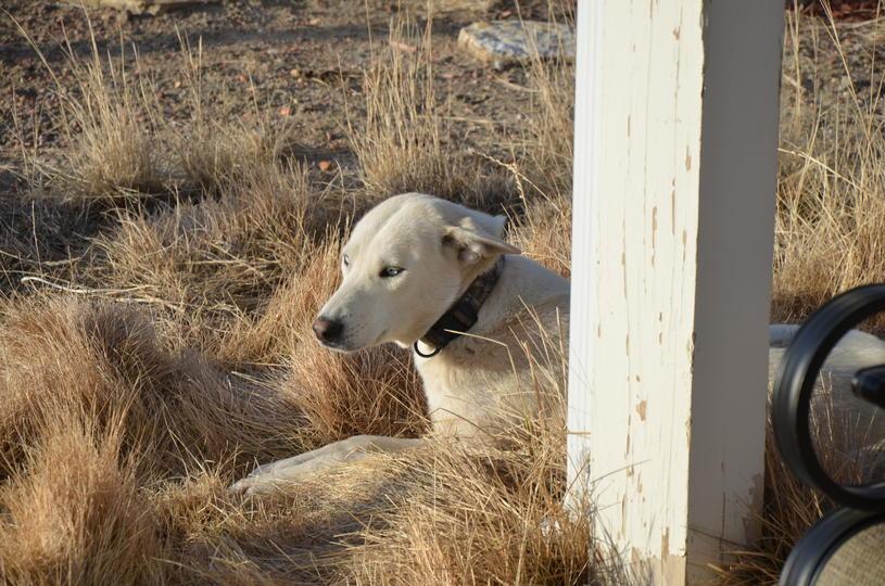 Husky/Wolf Hybrid or Husky/Shepherd mix???-dsc_8227.jpg