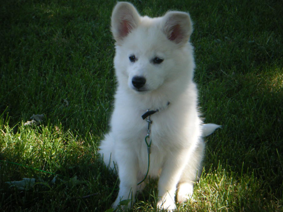 American Eskimo Golden Retriever Mix Have american eskimos ?