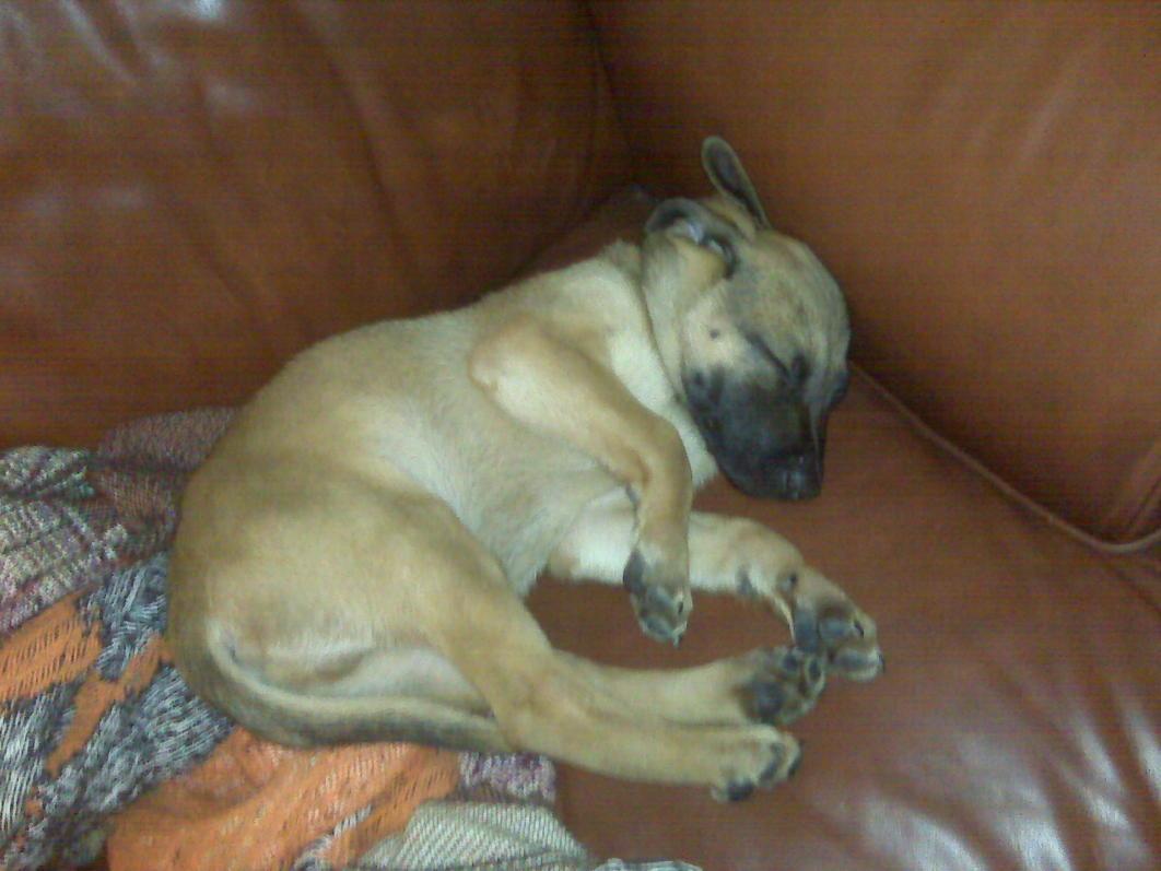 Most Inspiring Mouth Cur Black Adorable Dog - 13698d1272692109-my-dog-blackmouth-cur-duke-sleeping  Image_469497  .jpg