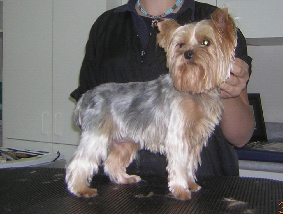 yorkie hairstyles-fall-c-322.jpg