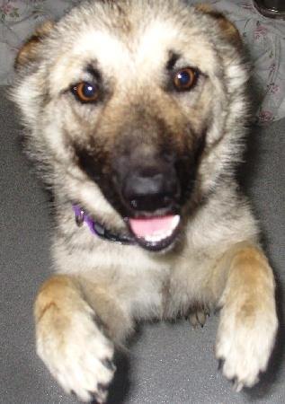 Norwegian Elkhound German Shepherd Mix