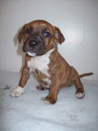 Boxer Bloodhound Mix Puppies Boxer hound mix?